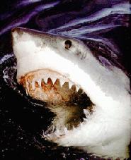 Знаменитая большая белая акула, или акула-людоед, огромное, с плотным.